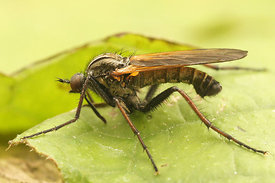 Empis species