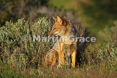 Culpeo or Zorro Rojo (Lycalopex culpaeus) in strong early morning sunshine, Torres del Paine National Park, Patagonia