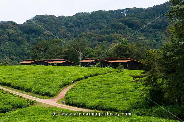 Nyungwe Forest Lodge set between tea plantations, Nyungwe Forest National Park, Rwanda