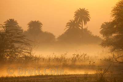 Misty sunrise in wetlands with palm trees, Keoladeo National Park, Rajasthan, India