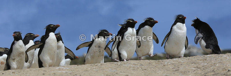 Southern Rockhopper Penguins (Eudyptes chrysocome chrysocome) on the penguin highway from the colony to the sea, Cape Coventr...
