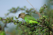 Brown-headed parrot, Poicephalus cryptoxanthus, Kruger National Park, South Africa