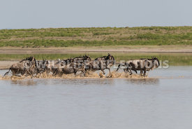 wildebeest_lake_crossing_sequence_02242015-27