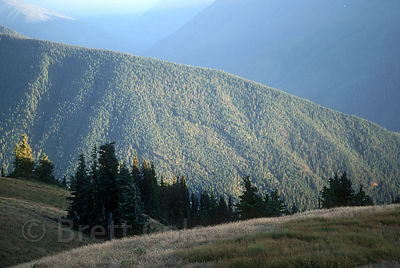 Virgin forests in the Olympics from Hurricane Ridge, Washington.