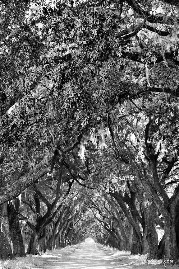 OAK ALLEY NEAR RIVER ROAD LOUISIANA BLACK AND WHITE VERTICAL