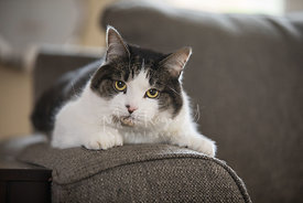 Yellow-eyed grey and white cat lying on sofa arm and staring at viewer