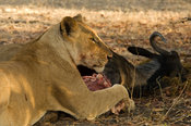 Lion eating its prey, panthera leo, Selous Game Reserve, Tanzania