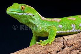 Naultinus grayii, Northland green gecko, New Zealand