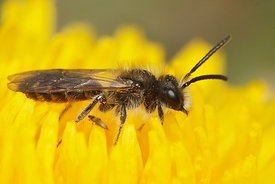 Andrena ventralis, Durmplassen, male on Taraxacum species