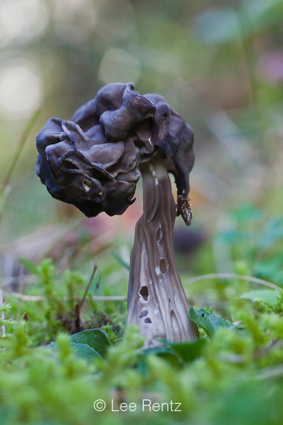 Elfin Saddle, Helvella lacunosa, along Adams River