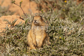 utah_prairie_dog_sleeping_sitting