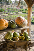 Pumpkins and gourds drying in the sun. RHS Garden Rosemoor, Great Torrington, Devon, UK