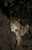 Leopard (Panthera pardus), South Luangwa National Park, Zambia