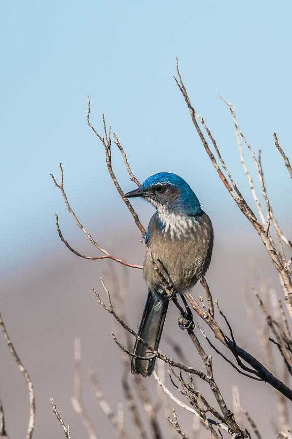 Western Scrub-Jay in Lincoln National Forest, New Mexico