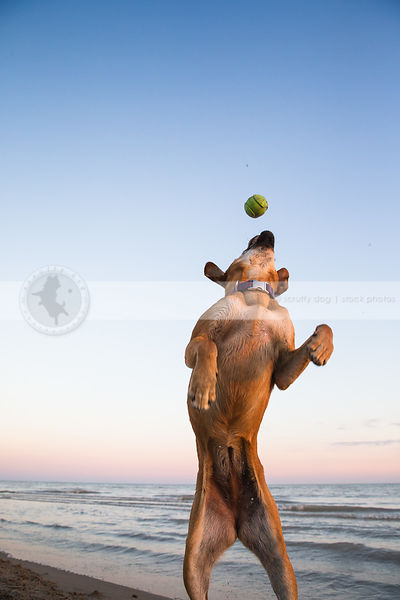 tan dog jumping catching ball with minimal background