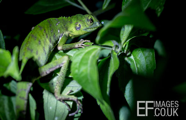 Green Tree Lizard, Bronchocela cristatella, In The Leaves At Night