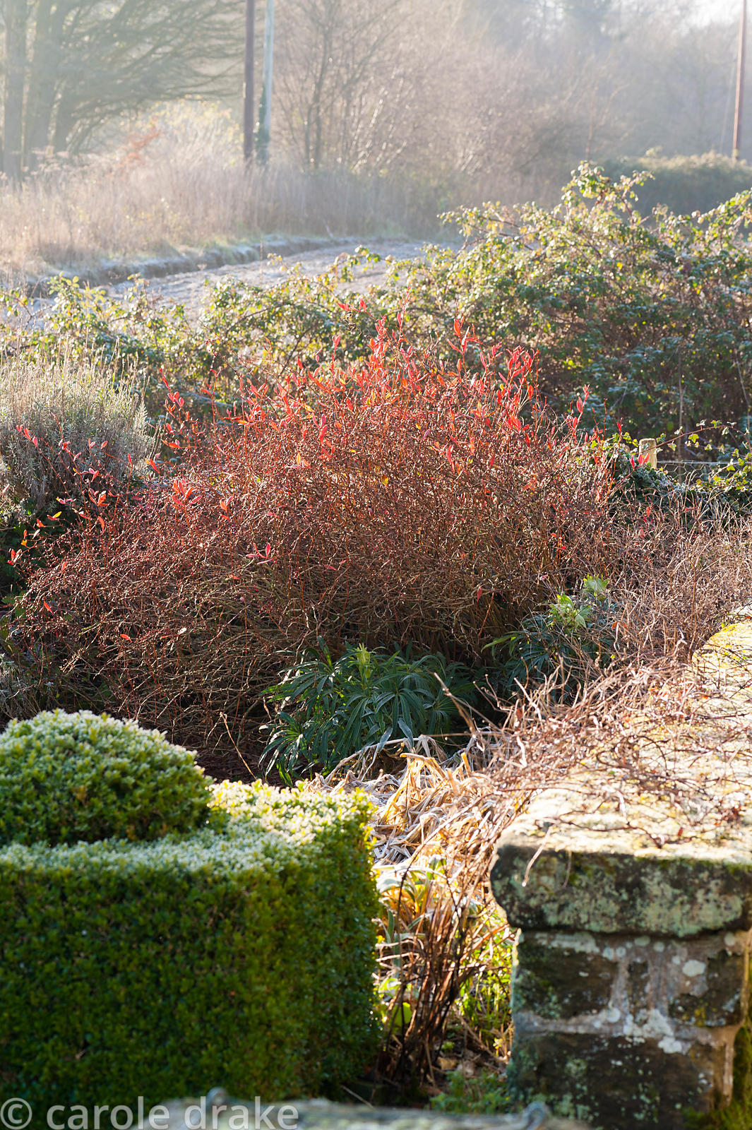 Clipped box stands each side of an opening in a low wall, with red berberis and frosty plants roundabout and fields and churc...