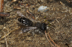 Andrena clarkella, male at  Kanaalbermen Bellem