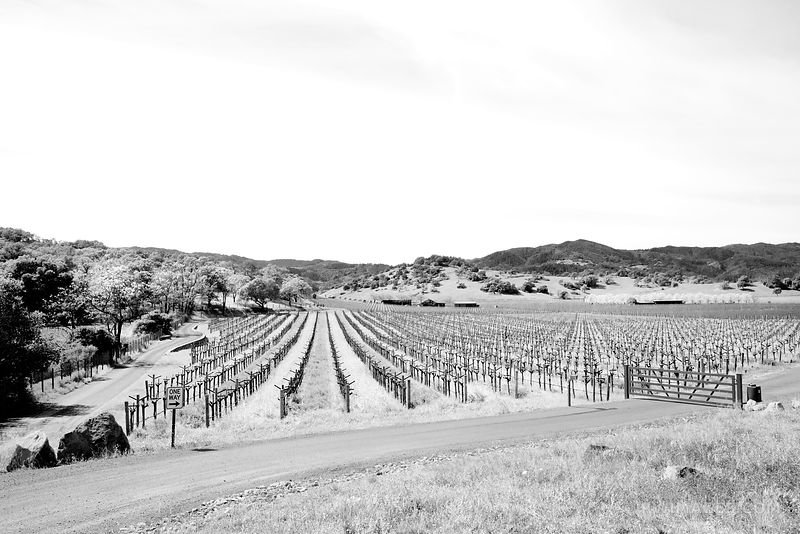 NAPA VALLEY VINEYARD IN SPRING BLACK AND WHITE