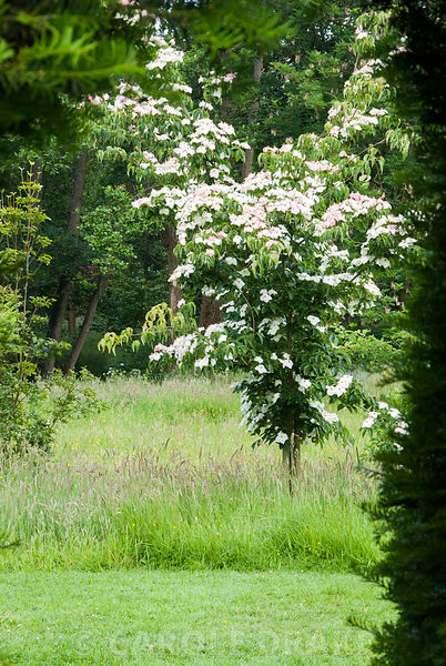 Cornus nuttallii in the meadow at Cothay Manor, Somerset