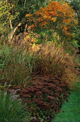 The Long Walk autumn borders of grasses, perennials, trees and shrubs in October at Knoll Gardens, Dorset.  Miscanthus, Sedum...
