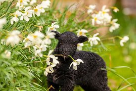 Spring lamb and daffodils