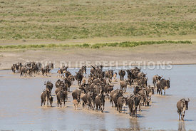 wildebeest_lake_crossing_sequence_02242015-39