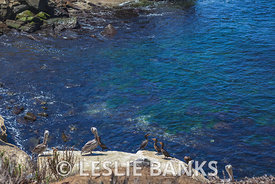 Pelicans and Cormorants in La Jolla