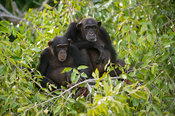 Chimpanzees (Pan troglodytes), River Gambia National Park, the Gambia