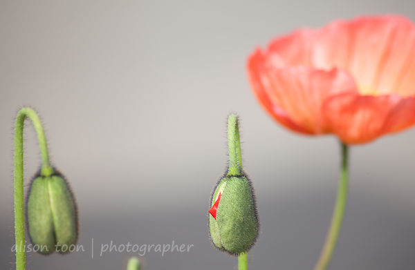 Poppies in bud