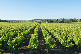 photo: vignoble