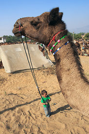 A small boy tends a camel at the Pushkar Camel Fair, Pushkar, Rajasthan, India