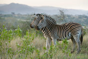 Burchell's zebras playing (Equus burchellii), Zulu Nyala Game Reserve, South Africa