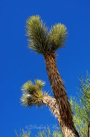 Joshua tree 1 Parc National de Joshua Tree Californie USA 10/12