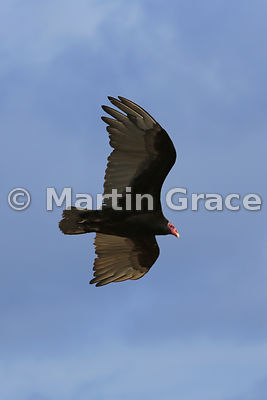 Turkey Vulture (Cathartes aura) in flight, Cape Coventry, Pebble Island