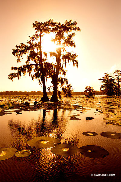CYPRESS TREE LAKE MARTIN LOUISIANA SWAMP COLOR VERTICAL
