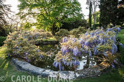 Wisterias surround the lily pool. Iford Manor, Bradford-on-Avon, Wiltshire