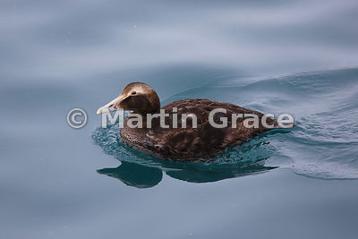 Female Common Eider (Somateria mollissima), Husavik, north Iceland