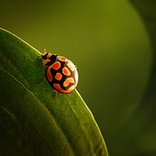 ladybug on the edge of green leaf