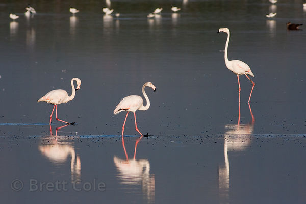 Greater flamingos (Phoenicopterus roseus), Strandfontein, South Africa