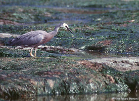 February - White-faced Heron