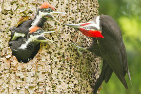 July - Pileated Woodpeckers
