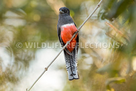 blue_crowned_trogon_vine-1-Edit-Edit