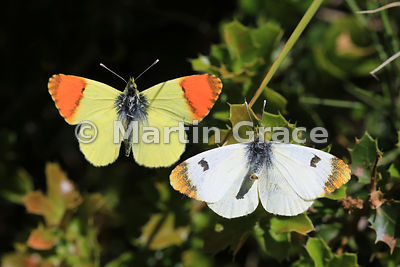 Male Moroccan Orange-Tip butterfly (Anthocharis belia) photographed flying round a female that is ready to mate and pumping o...