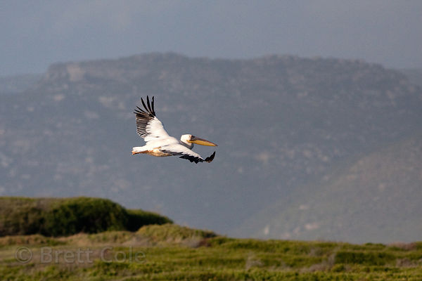 Great White Pelicans (Pelecanus onocrotalus), a red-listed endangered species, Strandfontein, South Africa