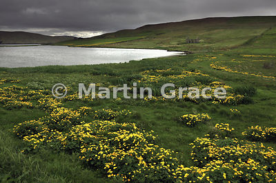 Marsh Marigolds (Kingcups) (Caltha palustris), Housetter, Colla Firth, Northmavine, Shetland