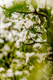 Apple blossoms 5