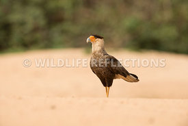 caracara_three_brothers_beach-2