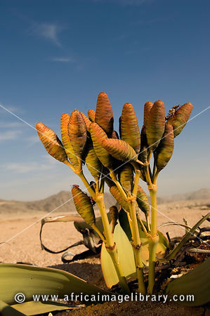 Welwitschia (Welwitschis mirabilis) can live for over 1000 years and are members of the conifer family. Welwitschia drive in ...