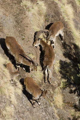 Walia ibex (Capra ibex walie) male, females and young on steep slope, Simien Mountains NP, Ethiopia, Endangered